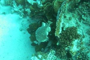 Bogenstirn-Zitterrochen (Torpedo panthera)