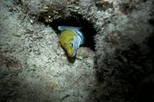 Gelbkopf-Muräne (Gymnothorax fimbriatus)