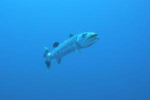 Großer Barrakuda (Sphyraena barracuda)