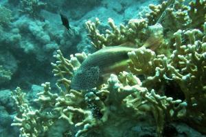 Gestreifter Korallenwächter (Paracirrhites forsteri)