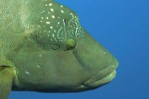 Lippfische (Labridae)