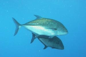 Stachelmakrelen (Carangidae)