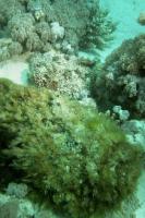 Steinfische (Synanceiidae)