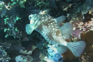 Igelfische (Diodontidae)