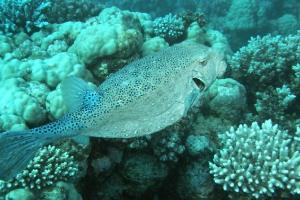 Kofferfische (Ostraciidae)