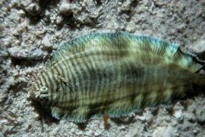 Seezungen (Soleidae)
