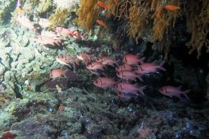 Roter Soldatenfisch (Myripristis murdjan)