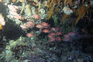 Soldaten- und Husarenfische (Holocentridae)