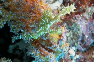 Schmuck-Geisterpfeifenfisch (Solenostomus paradoxus)
