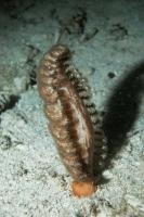 Höhlen-Seefeder (Pteroeidida)