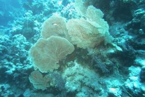 Weichkorallen (Alcyonacea)