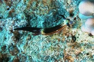 Neonsternschnecken (Polyceridae)
