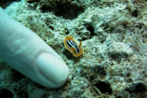 Pyjamaschnecke (Chromodoris quadricolor)